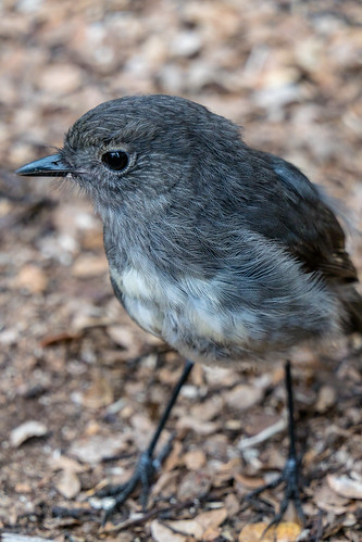 My friend the South Island Robin