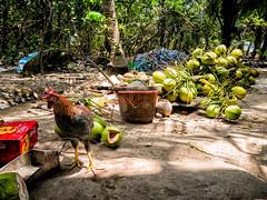 Hon May Rut, Phu Quoc, Vietnam (Kevin R Thornton) Tags: chicken phuquoc galaxys8 asia travel mobile samsung vietnam honmayrut animal thànhphốphúquốc tỉnhkiêngiang vn