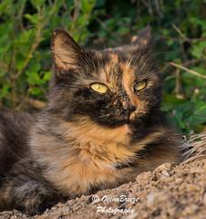 Sunny Glow (Siula85 (OceanBreezePhotography)) Tags: sunnyglow bella toroiseshell cat calico fujixt1 fujinonxf18135mm garden sun kazgreen siula85 oceanbreezephotography 2018