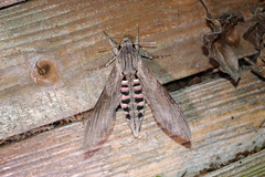 Convolvulus Hawk-moth (Agrius convolvuli) (markkilner) Tags: canon eos 80d dslr kent england kilner 50mm nature wildlife summerwatch broadstairs thanet garden moth hawkmoth flash night convolvulushawkmoth agriusconvolvuli