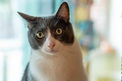 javacatscafe12Aug20180168.jpg (fredstrobel) Tags: javacafecats javacatscafe pets atlanta animals usa cats places ga georgia unitedstates us