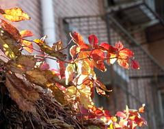 Autumn leaves (caitriana) Tags: beijing china ihep autumn