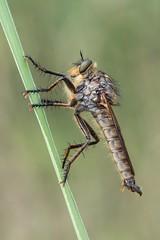 Akahige, F13, no focus stacking (HelmiGloor) Tags: raubfliege barbarossafliege insecta insekten insects schafisheim wildlife makro macro fauna canon canon7dmki
