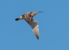 Oare flying Whimbrel