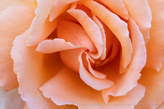 Pale Orange Rose, 5.25.18 (pattyoboe) Tags: rosa roses flora flowers wgwalk