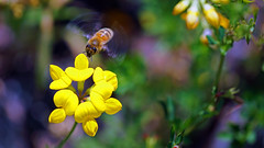 Honey Bee, Miller Creek - Duluth MN USA, 07/16/18 (TonyM1956) Tags: elements sonyalphadslr tonymitchell duluth minnesota stlouiscounty nature millercreek