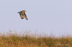 SEO 01 (nondesigner59) Tags: shortearedowl asioflammeus predator bird nature wildlife hunting copyrightmmee eos7dmkii nondesigner nd59