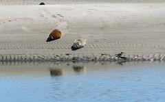 Fanø_sæl10 (MBjoernoe) Tags: sea hav valmue flower garden langeland fanø fyn denmark ebeltoft sæl seal strand beach lake humlemagasinet mols svane