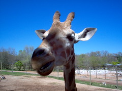 Giraffe (Adventurer Dustin Holmes) Tags: dickersonparkzoo zoo springfield springfieldmo missouri ozarks route66 us66 missouri66 2005 eventoedungulatemammal ruminant herbivore mammal animalia chordata mammalia artiodactyla giraffidae outdoor giraffe
