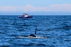 Killer whale at Langara Island, Haida Gwaii (Langara Fishing Adventures) Tags: alaska bc britishcolumbia canada dixonentrance grahamisland haidagwaii langaraisland orcinusorca pacificnorthwest queencharlotteislands cetaceans fishinglodges killerwhale orcawhale whalewatching ca