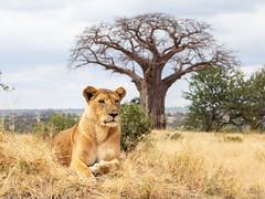 Eye level with the hunter (loddeur) Tags: tanzania lion bigcat pantheraleo close safari africa tarangire nationalpark leeuw lioness