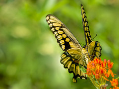 Giant Swallowtail. (Bernie Kasper (5 million views)) Tags: art berniekasper butterfly butterflies bugs bug butterflyweed color d600 family flower floral flowers green hiking indiana indianawildflowers insect indianabutterflies insects jeffersoncounty light leaf leaves love madisonindiana macro nature nikon naturephotography new outdoors outdoor old outside orange photography plant park plants raw summer sigma swallowtail giantswallowtail travel wildflower wildflowers