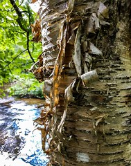 Yellow Birch bark . . . (Dr. Farnsworth) Tags: tree bark birch river rapidriver yellow curly fernridge mi michigan summer july2018