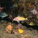 Parupeneus spilurus - Black-spotted goatfish