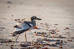 Beach Stone Curlew (Esacus magnirostis) (peter.carlsen) Tags: petercarlsen nikond500 nikkor200500mmf56 birds nature wildlife australia
