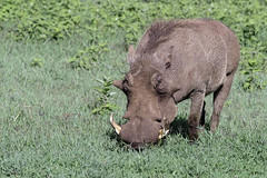 Impressive warthog (tmeallen) Tags: warthog large male phacochoerusafricanus wildlife safari grazing greengrass rainyseason ngorongorocrater ngorongorocaldera ngorongoroconservationarea tanzania eastafrica impressivetusks largewarts
