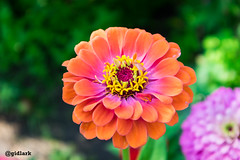 Цинія (Zinnia) (gidlark) Tags: flowers zinnia nature ukraine цинія квітка україна природа