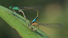 Blue-tailed Damselflies - Ischnura elegans (Visual Stripes) Tags: damselfly mating coenagrionidae insect invertebrate sigma105mm macro panasoniclumixg1 microfourthirds mft m43