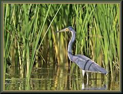 Searching near the shore (WanaM3) Tags: wanam3 nikon d7100 nikond7100 texas pasadena clearlakecity armandbayou bayou outdoors nature wildlife reeds canoeing paddling animal heron tricoloredheron