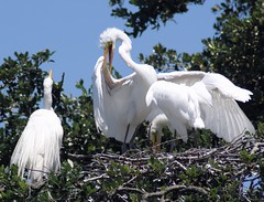 Mom's Rules (PelicanPete) Tags: greategret wetlands florida northeastflorida unitedstates nature beauty wildlife usa saintaugustineflorida white ardeaalba bright longneck inthewild darter pair wild tree branch nest close plumage outdoor bird animal egret sky aviancapture chick momsrules squabble inthenest bignest adultandoffspring coth5 sunrays5