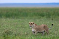 Lion ❤ (Waitandshoot - Alexandre & Chloé Bès) Tags: afrique africa safari bird mammifère mammal lion leopard rhino oiseaux canon sigma kenya masai hyene pelouse animal champ macro cubs lionceaux bébé baby symba king