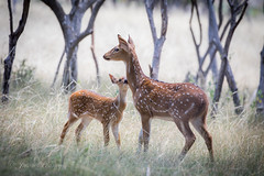 Axis Deer fawn and her momma (J Centavo) Tags: axis fawn mother chital