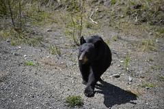 Wild American Black Bear (Ursus Americanus), Stewart Cassiar Highway 37  -  (Selected by GETTY IMAGES) (DESPITE STRAIGHT LINES) Tags: nikon d800 nikond800 nikkor200500mm nikon200500mm nikongp1 paulwilliams despitestraightlines flickr gettyimages getty gettyimagesesp despitestraightlinesatgettyimages bear blackbear babyblackbear wildanimal wildbear claws paw paws fur nature mothernature ursusamericanus animalia carnivora ablackbeareatinggrass blackbearonalaskahighway