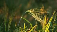 *** (pszcz9) Tags: nature przyroda natura naturaleza zboże grain zbliżenie closeup bokeh lato summer beautifulearth sony a77