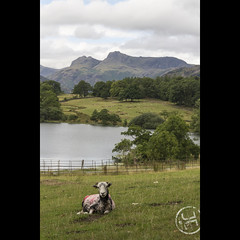 Sheep @ Loughrigg Tarn (JoshJackson84) Tags: canon60d sigma18250mm europe uk england cumbria lakedistrict lakes loughrigg loughriggtarn tarn langdalepikes sheep mountains trees