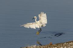 Snowy Egret (Trent Bell) Tags: bonelliregionalpark sandimas california birdwatching bonellipark bird socal 2018 snowyegret