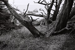 Cypress (bingley0522) Tags: nikkormatft3 nikkor50mmf18 xp2 pointlobos california coastal coastalcalifornia autaut