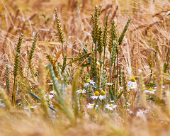 Interlopers (Doug.King) Tags: farmland landscape plants nature wheat barley oxeye daisy summer summery tranquil warm golden ripe closeup bokeh dof agriculture farming crops biodiversity rural countryside