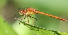 Autumn Meadowhawk at Capik Preserve (Tombo Pixels) Tags: capikpreserve dragonfly ode odonata odonate capik181363 autumn meadowhawk autumnmeadowhawk middlesexcounty pinebarrens pinelands nj newjersey twb1