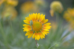perfect4249 (TimHarris4096 It is the best of times it is the wo) Tags: pentaxk5iis flower flowers bokeh boerne macro m42 macrotubes yellow green texas sanantonio