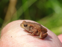 Baby Bufo (Julian Hodgson) Tags: commontoad bufobufo amphibian toad toadlet woodwaltonfen nationalnaturereserve ramseyheights cambridgeshire naturalengland greatfen sonydschx400v raynoxdcr150