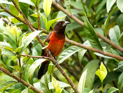 IMG_9867  Crimson-backed Tanager-female (ashahmtl) Tags: crimsonbackedtanager bird tanager songbird female ramphocelusdimidiatus elvalledeanton cocleprovince panama