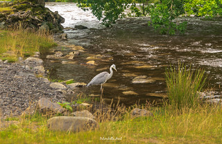 The elegant Grey Heron!