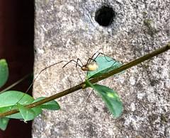 Harvestman (Kay Bea Chisholm) Tags: invertebrate opiliones sixlegs wallasey insect harvestman garden