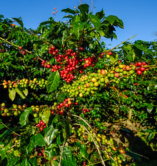 Coffee trees and fruits in plantation (phuong.sg@gmail.com) Tags: agricultural arabic asia beans branch caffeine central closeup coffee coffeebean crop dalat ecology farm field flora floral food fresh fruit garden green grow growth harvest highlands java laos leaf leaves many natural nature outdoor plant plantation red roast seeds thailand tree tropical useful vietnam