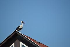 Tetőn (vegeta25) Tags: gólya stork roof top tető kék blue bird madár animal 3052