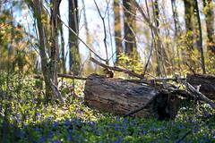 Spring Sunshine In Hendrie Park (TomIrwinDigital) Tags: chipmunk flowers spring rbgblooms burlington hamilton ontario royalbotanicalgardens