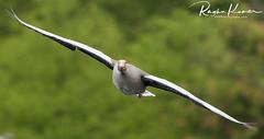 Wildlife @ Hyde Park, London (rvk82) Tags: 2017 birds england hydepark london may may2017 nikkor70200mm nikon nikond500 rvk rvkphotography raghukumar raghukumarphotography wildlife rvkonlinecom rvkphotographycom unitedkingdom gb