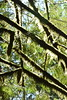 Old Mossy III (Bad Alley (Cat)) Tags: tree leaves light shadow sun sunlight green englishmanriverfalls englishmanriver vancouverisland britishcolumbia nature park forest moss lichen
