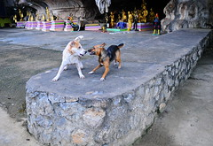,, Absolutely Loony Toons ,, (Jon in Thailand) Tags: dogs dog k9 k9s themonkeytemple thehooligans dj angeleyes jungle nikon nikkor d300 175528 sillydogs funnydogs dogsplaying cave statues purple green gold giantchicken red yellow dogtails dogears dogeyes loonytoons excitabledogs littledoglaughedstories