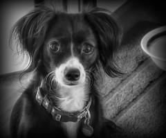"Did Someone Say ""Dinnertime""??? (Colormaniac too - Many thanks for your visits!) Tags: dog eyes cutedog blackwhite blackandwhite monochrome mono indoors topazstudio hss netartll"