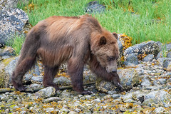 Female Grizzly Bear (RussellK2013) Tags: ursusarctoshorribilis grizzly grizzlybear bear outdoor wildlife wild animal animalplanet animalportrait nikon nikkor ngc nature nationalgeographic nationalgeographicwildlife d500 tc14eiii teleconverter 300mmf4epfedvr 300mm prime glendalecove canada britishcolumbia