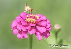 little skipper (Anne Marie Fraser) Tags: skipper little macro butterfly flower zinnia skipperbutterfly nature garden summer summertime pretty insect