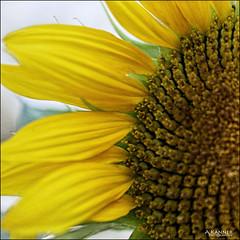 Sunny Sunflowers... (angelakanner) Tags: canon70d 50mmlens garden longisland sunflower sunny summer yellow closeup processed