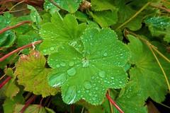 After the rain (namhdyk) Tags: rain green leaf canon canonpowershot canonpowershotg7x