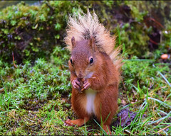 Red Squirrel (Terry Angus) Tags: red squirrel